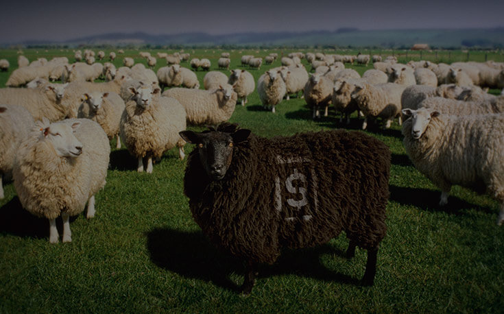 herd mentality stray from the pack black sheep dollar sign
